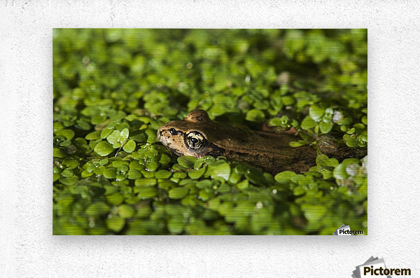 A Red-Legged Frog Rests In Small Plants; Astoria, Oregon, United States Of America  Metal print