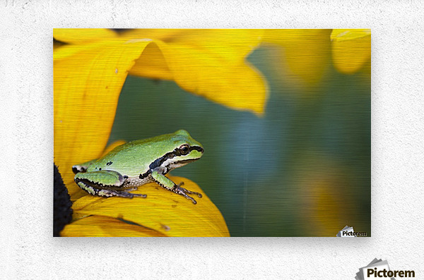 A Pacific Tree Frog (Pseudacris Regilla) Hunts For Insects On A Rudbeckia Blossom; Astoria, Oregon, United States Of America  Metal print