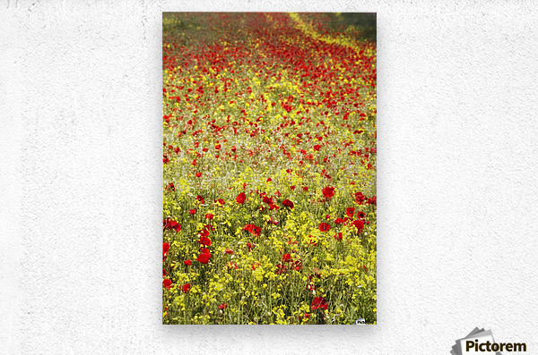 Abundance of red poppies in a field; Whitburn, Tyne and Wear, England  Metal print