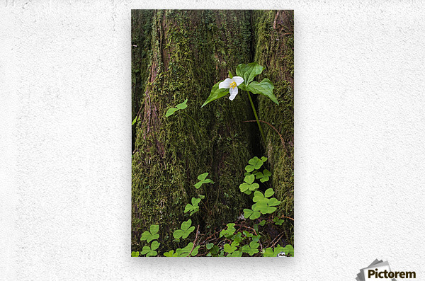 A Trillium grows from the trunk of a Western Red Cedar tree; Jewell, Oregon, United States of America  Metal print