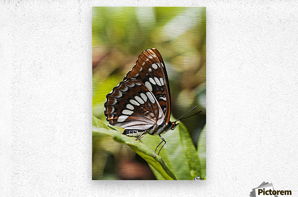 A White Admiral Butterfly (Limenitis arthemis) rests on a leaf; Astoria, Oregon, United States of America  Metal print