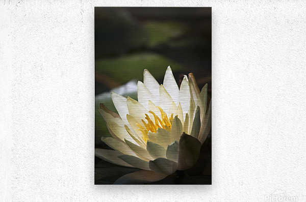 Water lily blooms in a pond; Astoria, Oregon, United States of America  Metal print