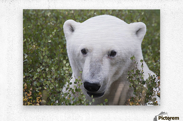 Large male polar bear (ursus maritimus) sitting in the willow bushes near Churchill; Manitoba, Canada  Metal print