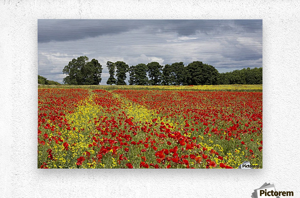 A field with an abundance of red and yellow flowers; Northumberland, England  Metal print
