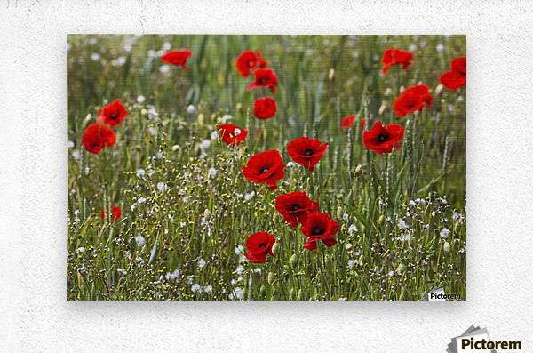 Red and white flowers blossoming in a field; Northumberland, England  Metal print
