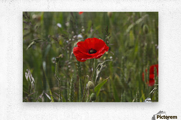 Close up of a red poppy blossoming; Northumberland, England  Metal print