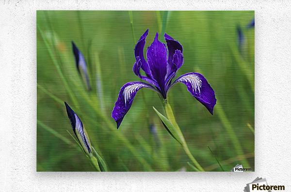 Oregon Iris (Iris tenax) blooms in the forest; Florence, Oregon, United States of America  Metal print