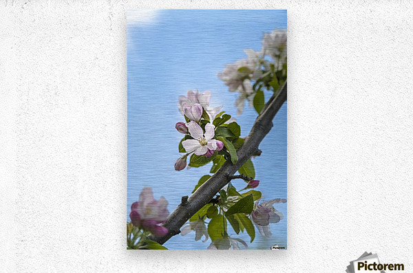 Pink and white crabapple flowers against a blue sky; Toronto, Ontario, Canada  Metal print