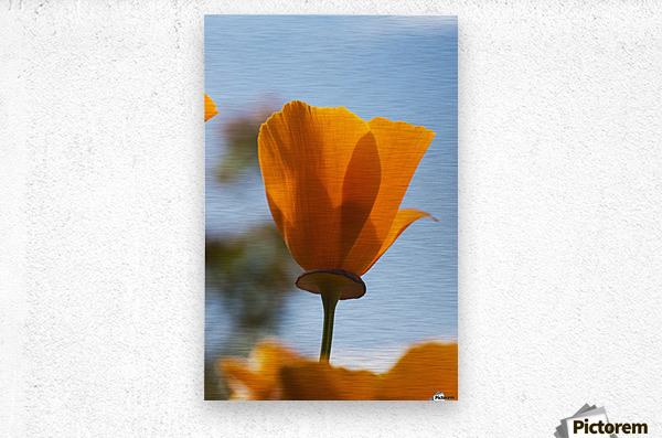 A california poppy (Eschscholzia californica) blooms in a garden against a blue sky; Astoria, Oregon, United States of America  Metal print