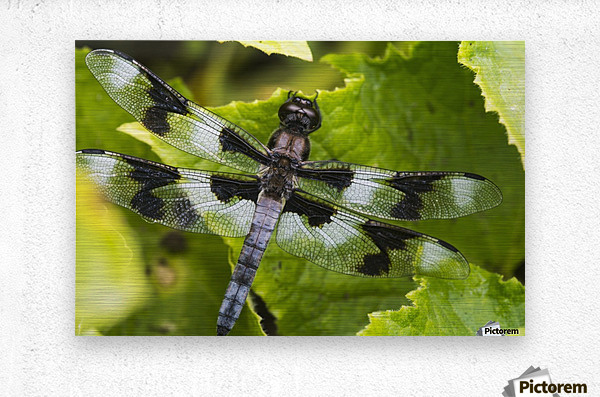 A dragonfly warms up in a vegetable garden; Astoria, Oregon, United States of America  Metal print