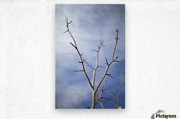 Tree with buds in springtime; Milton, Ontario, Canada  Metal print