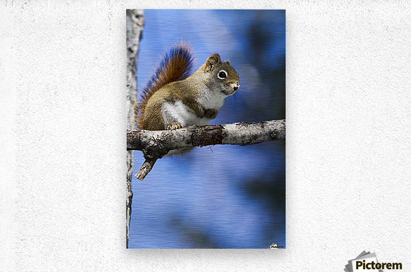 Eastern grey squirrel (Sciurus carolinensis) perched on a branch; Quebec, Canada  Metal print