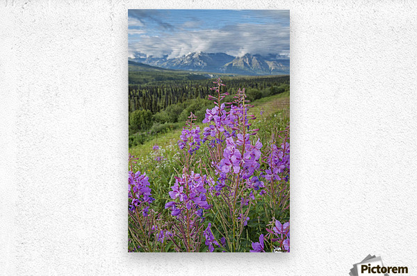 Scenic view of landscape near Palmer, Alaska, with Fireweed (Epilobium angustifolium) in the foreground, Southcentral Alaska, summer  Metal print