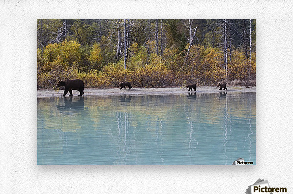Sow Grizzly and three cubs walking along the shore of Crescent Lake, Lake Clark National Park, Southcentral Alaska, Autumn  Metal print