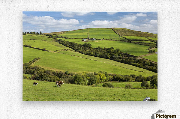 Cattle grazing on lush green hilly pastures with trees separating fields; County Kerry, Ireland  Metal print