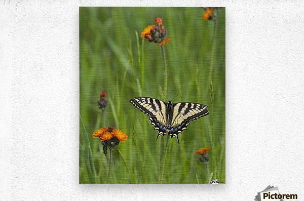 Eastern tiger swallowtail (Papilio glaucus) butterfly resting on flowers; Ontario, Canada  Metal print