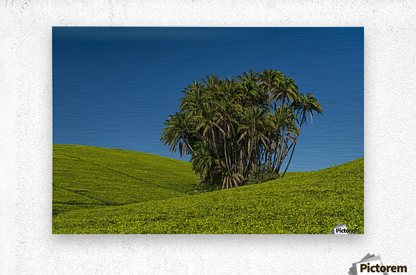 Collection of palm trees amongst hills covered in tea bushes, Satemwa Tea Estate; Thyolo, Malawi  Metal print