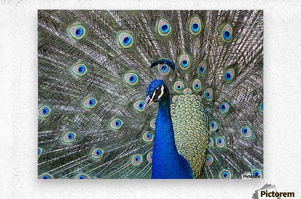 Peacock in full display mode attempting to attract a mate; Santa Cruz, Bolivia  Metal print