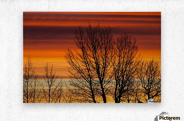 Silhouetted tree branches with dramatically colourful clouds at sunrise; Calgary, Alberta, Canada  Metal print