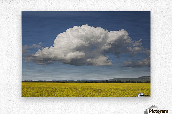 Canola field with blue sky and cloud; Thunder Bay, Ontario, Canada  Metal print
