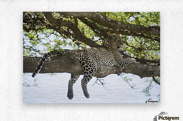 Leopard sprawled on tree limb near Ndutu, Ngorongoro Crater Conservation Area; Tanzania  Metal print