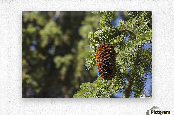 Open cone on spruce tree; Edmonton, Alberta, Canada  Metal print