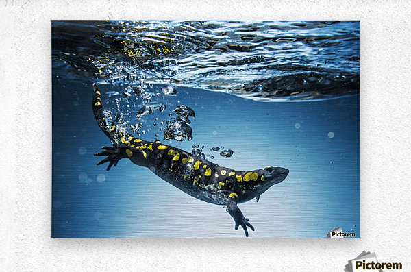 Salamander (Caudata) swimming in water; Tarifa, Cadiz, Andalusia, Spain  Metal print