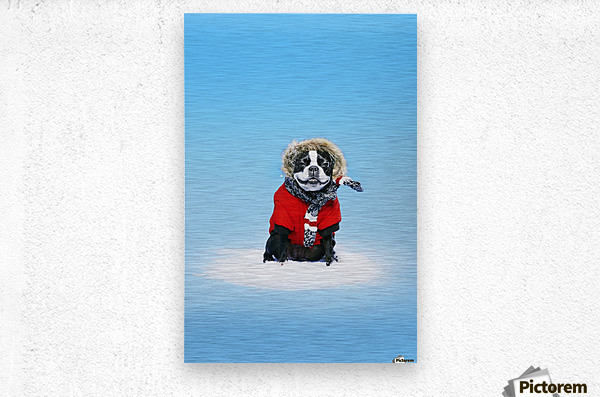 French bull terrier wearing jacket on blue background; Toronto, Ontario, Canada  Metal print