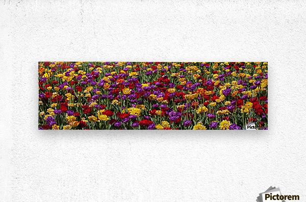 Tulips at the Canadian Tulip festival; Ottawa, Ontario, Canada  Metal print
