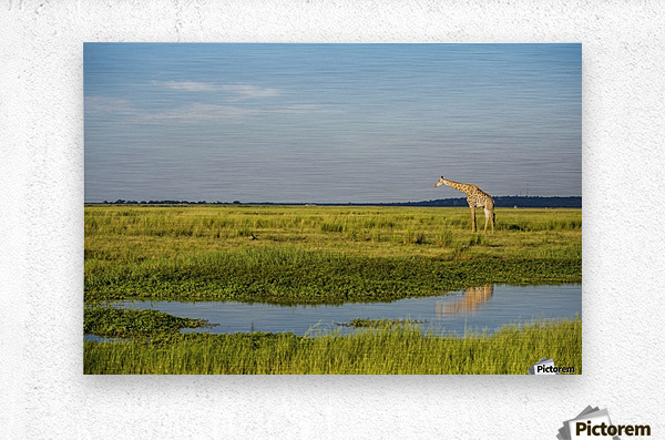 Giraffe (Giraffa camelopardalis), Chobe National Park; Kasane, Botswana  Impression metal