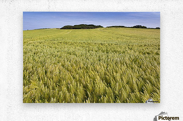 Wide angle image of a barley field with blue sky; Brittany, France  Metal print