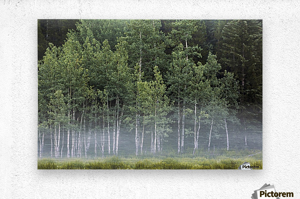Fog covering a row of aspen trees in the early morning; Kananaskis Country, Alberta, Canada  Metal print