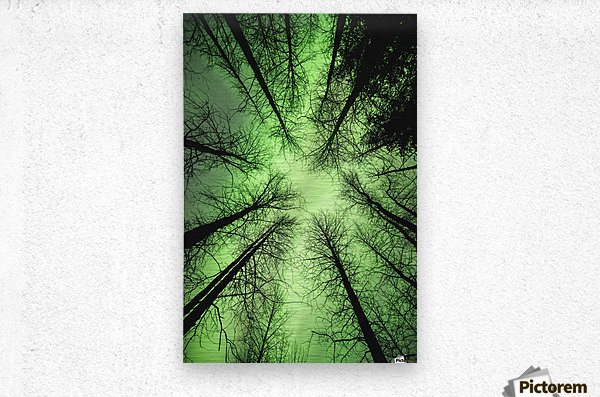 The aurora borealis glows overhead in a spruce forest in Portage Valley, Chugach National Forest, Southcentral Alaska.  Metal print