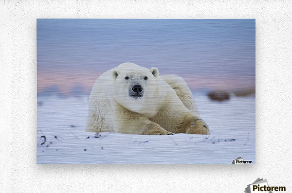 Polar bear (ursus maritimus) along the Hudson Bay coastline waiting for the bay to freeze over; Churchill, Manitoba, Canada  Metal print