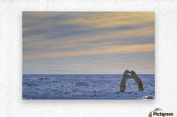 Polar bears (ursus maritimus) sparring on the coast of Hudson Bay; Manitoba, Canada  Metal print