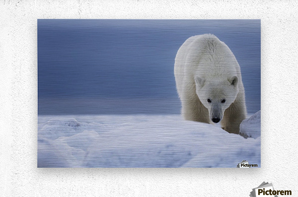 Polar bear (Ursus Maritimus); Churchill, Manitoba, Canada  Metal print
