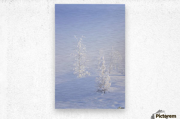 Scenic view of Birch trees in fog at sunrise, North Pole, Interior Alaska, Winter  Metal print