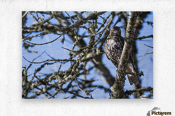 A young Red-tailed Hawk watches for movement in the grass below; Ridgefield, Washington, United States of America  Metal print