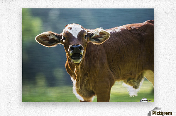 Herford calf bawls for it's mother; Gaitor, Florida, United States of America  Metal print