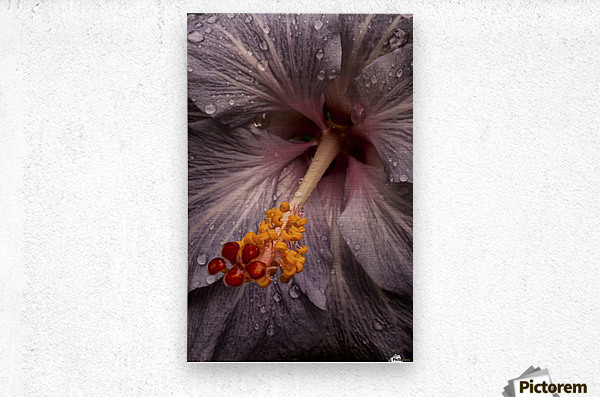Close up of a Hibiscus flower with water droplets; Hawaii, United States of America  Metal print
