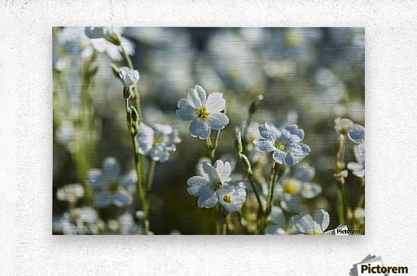 Chickweed (Stellaria media) blooms profusely in the spring; Astoria, Oregon, United States of America  Metal print