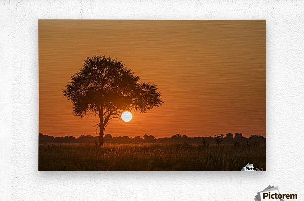 Backlit grass and silhouetted tree at sunset; Botswana  Metal print