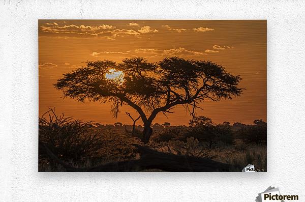 Silhouette of acacia tree at orange sunset; Botswana  Metal print