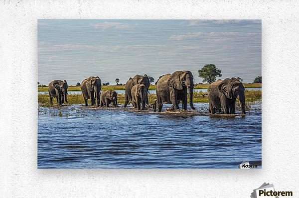 Line of elephants (Loxodonta africana) crossing river in sunshine; Botswana  Metal print