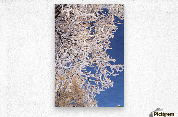 Hoar frosted tree branches against a blue sky; Anchorage, Alaska, United States of America  Metal print