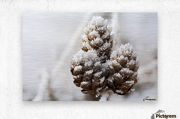 Close up of frosted pine cones; Calgary, Alberta, Canada  Metal print