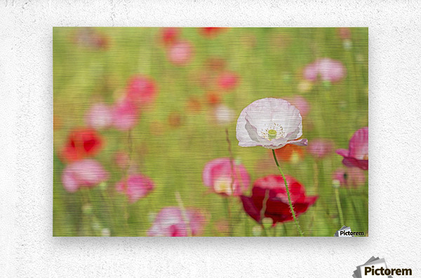 Poppies in a meadow; Burnaby, British Columbia, Canada  Metal print