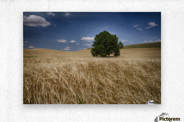 Lone tree in a wheat field; Palouse, Washington, United States of America  Metal print