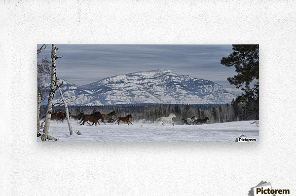 Horses running in the snow on a ranch in winter; Montana, United States of America  Metal print