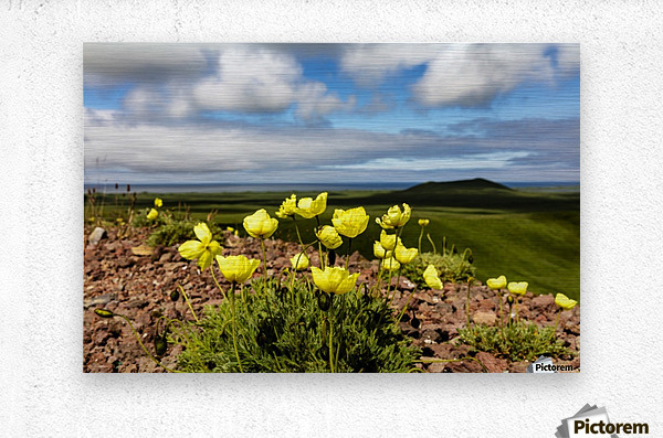 Arctic poppy (Papaver radicatum) grows from the volcanic soil of St. Paul Island in the Pribilofs in Southwest Alaska; St. Paul Island, Pribilof Islands, Alaska, United States of America  Metal print